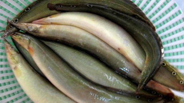 Cá chạch giúp nam giới chữa bệnh yếu sinh lý